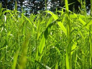 SMALLgrass_by_shitsurenshitatokara-d51pjmw