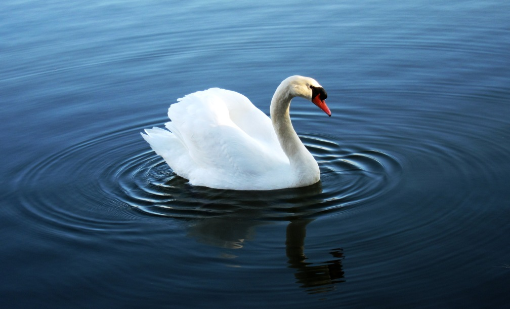 23 the_swan_by_transcendelia_d4rrjqs.jpg