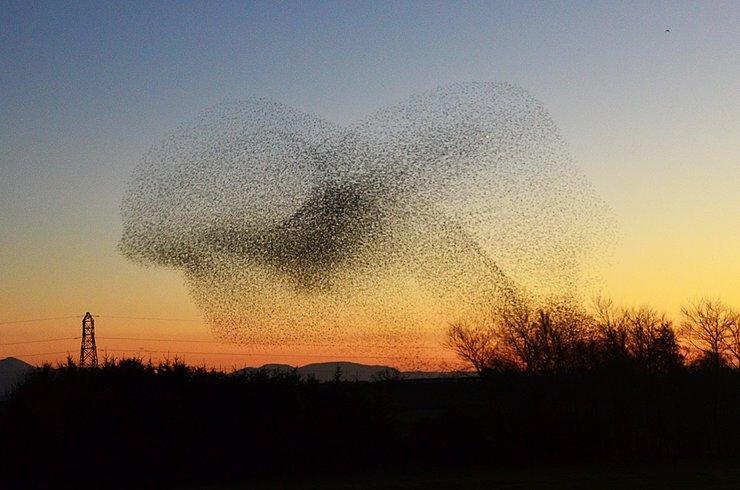 23 scotland-starling-murmuration