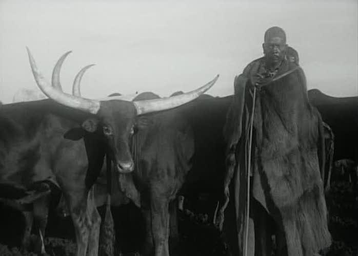 519788730-watussi-cattle-zebu-british-east-africa-british-crown-colony